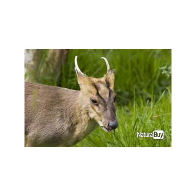 MUNTJAC a l'approche en Angleterre