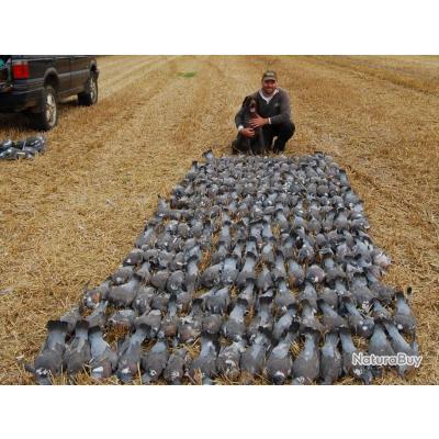 Chasse au pigeon en Angleterre