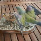 Gangas et pigeon vert de ganbie