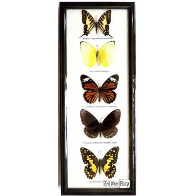 cadre avec cinq papillons chasse troph e taxidermie naturalis d co vintage reptiles et. Black Bedroom Furniture Sets. Home Design Ideas