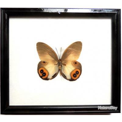 Cadre Véritable Papillon Chasse Trophée Taxidermie Naturalisé Déco