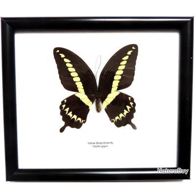 taxidermiste papillon
