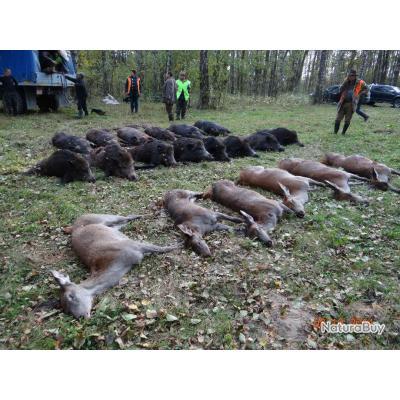 Chasse en battue en Biélorussie : Sangliers, Cervidés, Loups