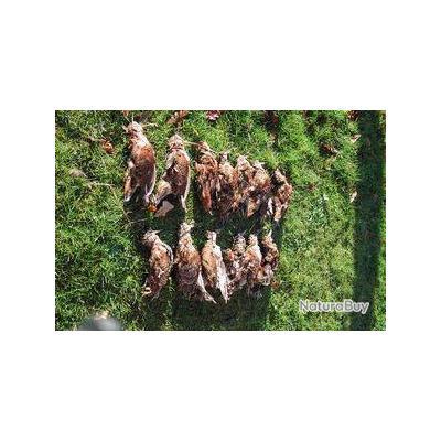 Chasse aux bécasses et aux cailles en Croatie