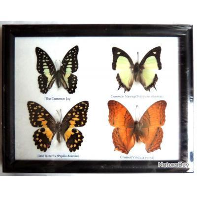 cadre avec quatres papillons chasse troph e taxidermie naturalis d co vintage reptiles et. Black Bedroom Furniture Sets. Home Design Ideas