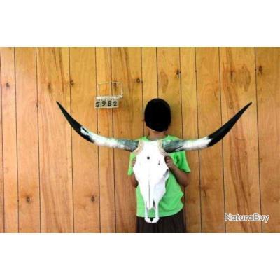 authentique tete de vache texane taille l de 90 cm 120. Black Bedroom Furniture Sets. Home Design Ideas