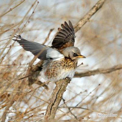 Comment chasser la grive - Comment chasser les moucherons ...