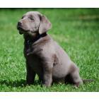 Labrador Silver  origine usa  unique en france
