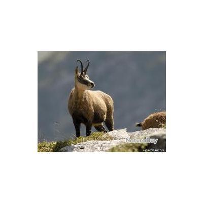 chamois chasse dans Carpates de la Roumanie