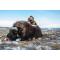 petites annonces chasse pêche : Groenland: Approche du boeuf musqué, tout compris