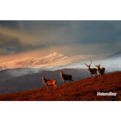 Ecosse: Cerf au brame dans les Highland à l'approche, tout compris