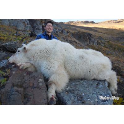 Colombie Britanique: Approche de la chèvre des Montagnes, prix spécial