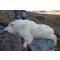 petites annonces chasse pêche : Colombie Britanique: Approche de la chèvre des Montagnes, prix spécial