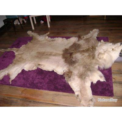 taxidermie peau de lion en tr s bien tat produits outils mat riels de taxidermie 3089169. Black Bedroom Furniture Sets. Home Design Ideas