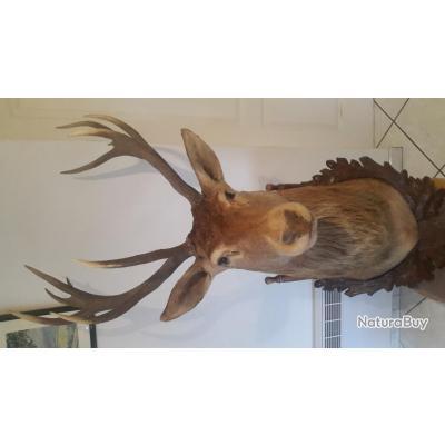 a vendre magnifique troph e de chasse cerf royal sur cusson en bois de la for t noire. Black Bedroom Furniture Sets. Home Design Ideas