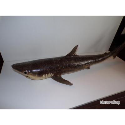 Beau Requin 100cm naturalisé