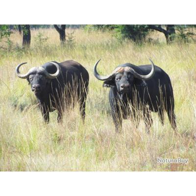 AFRIQUE DU SUD - 2 BUFFLES KAFER PROMO 2020