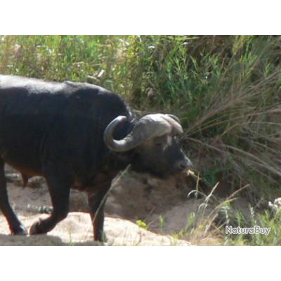 CHASSE EN AFRIQUE DU SUD - BUFFLES KAFER