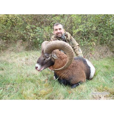 Chasse du Mouflon à l'approche dans les Pyrénées