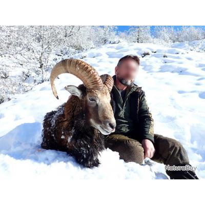 Chasse du Mouflon dans les Pyrénées