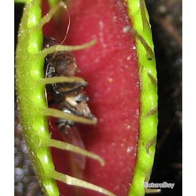 plante carnivore rat