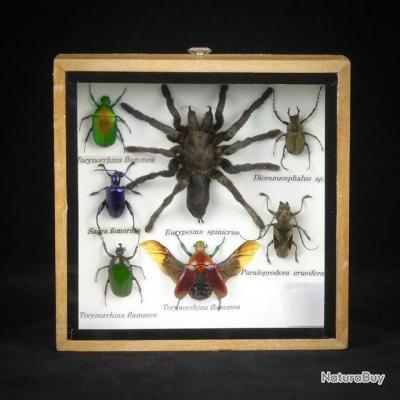 cadre entomologique authentiques insectes naturalis s. Black Bedroom Furniture Sets. Home Design Ideas