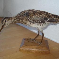 taxidermie nettoyage des os