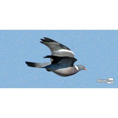 Chasse aux pigeons en Ecosse