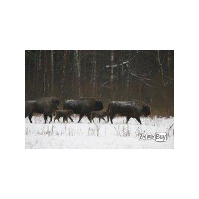 Chasse individuelle en Biélorussie dans les Parcs Nationaux : Bison, Brocard, Cerf, Elan, Sanglier