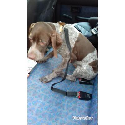 CEINTURE de SECURITE voiture pour chien.