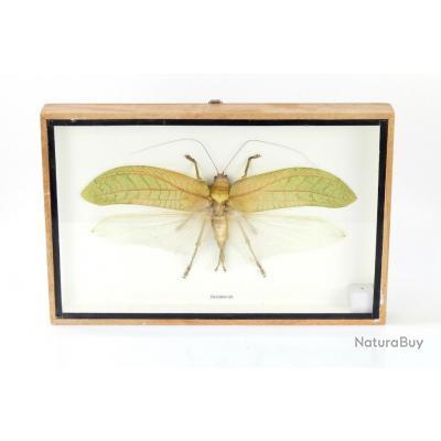 Grande sauterelle tropicale Sasuma sp. sous verre - Taxidermie - Entomologie