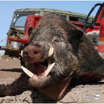 Battues de sangliers en Argentine