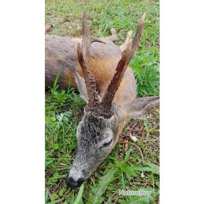 la chasse des Grands brocards de Pologne