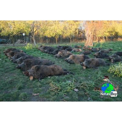Battues sanglier en Roumanie