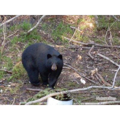 Québec chasse à l' ours