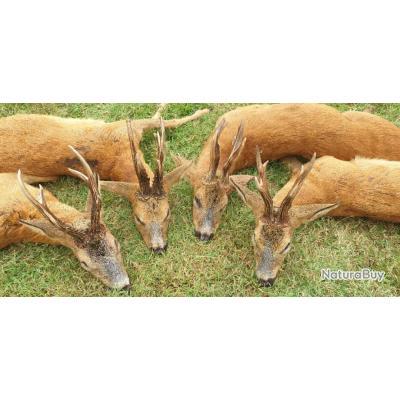 Séjours de chasse a à l'approche Brocard, cerf, Isard, Chamois et mouflon en France