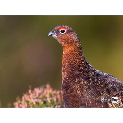 CHASSE GROUSE EN ECOSSE - INVERNESS