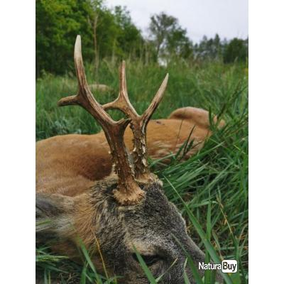 Chasse brocard POLOGNE