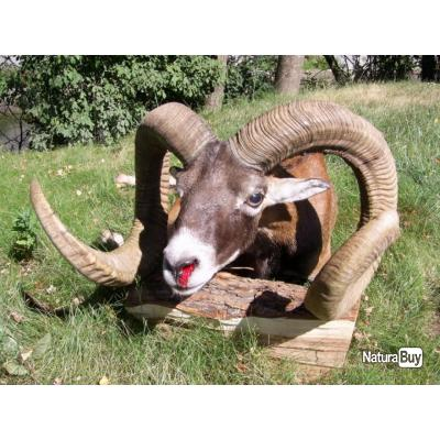 Chasse au mouflon en Bulgarie